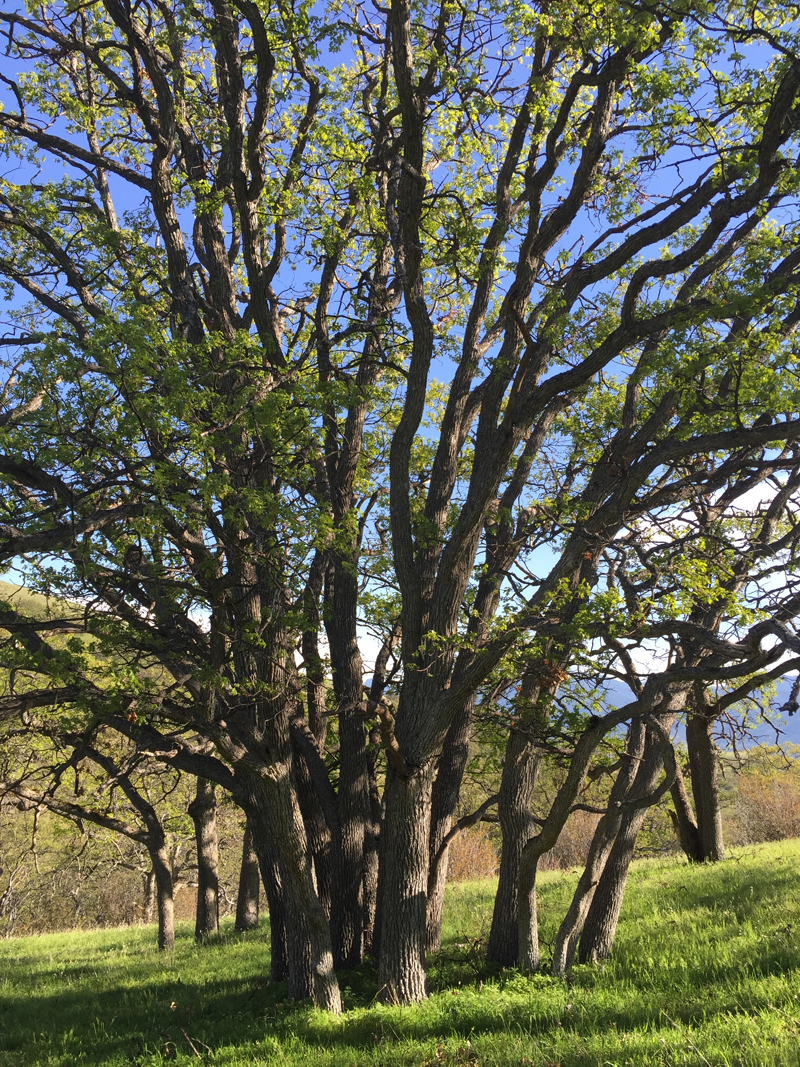 California Black Oaks <em>(Quercus Kellogg)</em>