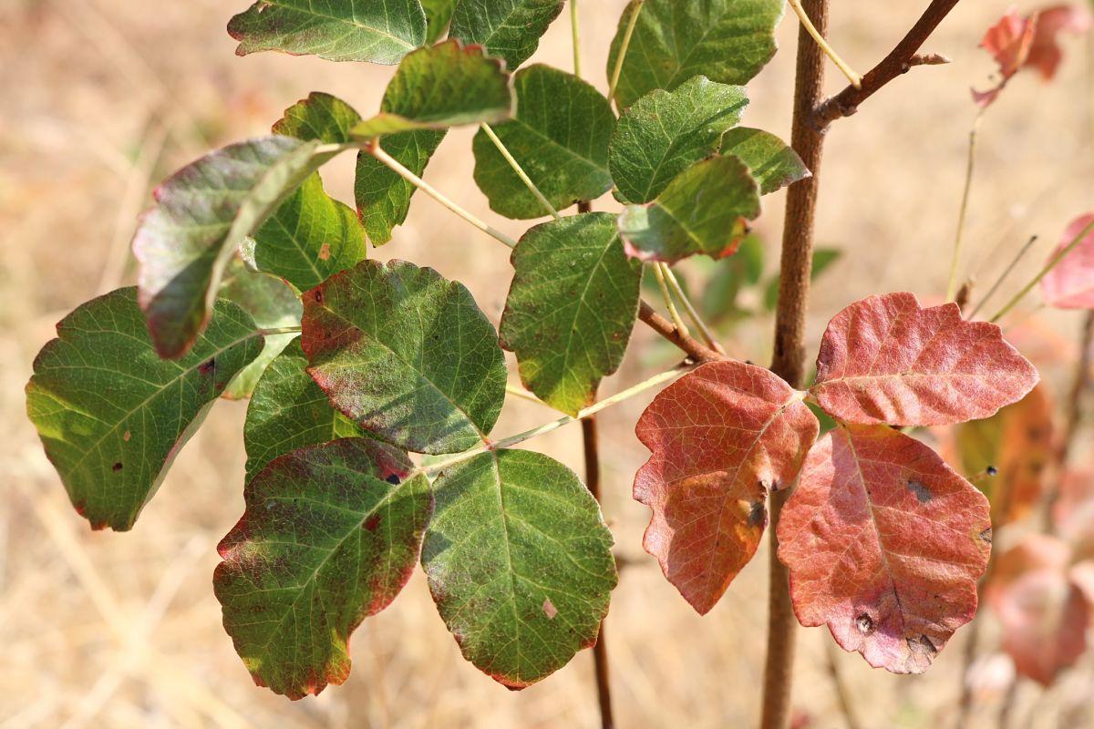 Poison-Oak <em>(Toxicodendron diversilobum)</em>
